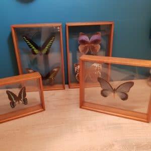 Papillons Encadrés Taxidermie en parfait état